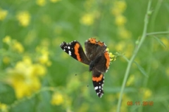 butteflies-and-more-0181-002